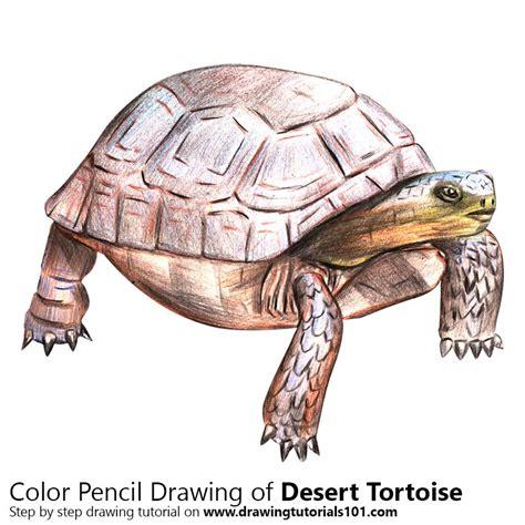tortoise color desert tortoise colored pencils drawing desert tortoise