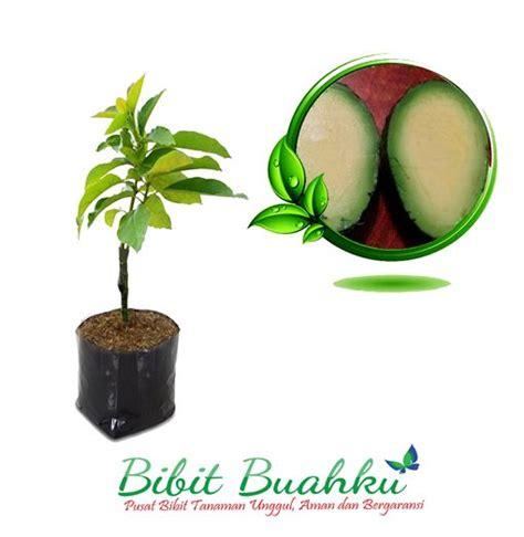 Bibit Buah Alpukat Tanpa Biji bibit tanaman alpukat tanpa biji unggul bibit buahku