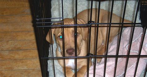 puppy using bathroom in crate leopold s crate dog potty training tips try a crate