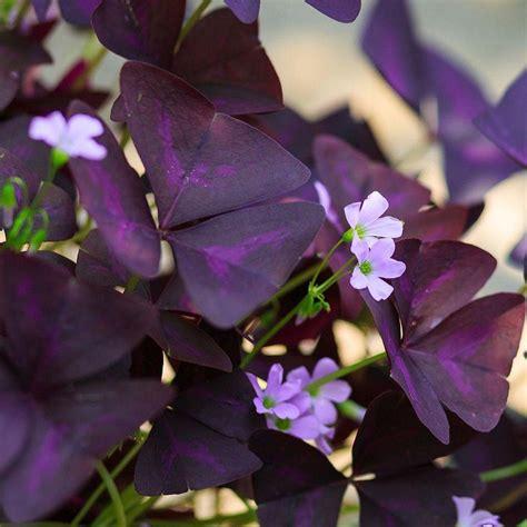 oxalis triangularis purple shamrock easy  grow bulbs