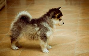 grown husky pomeranian mix pomeranian husky mix everything you need to pomeranian husky