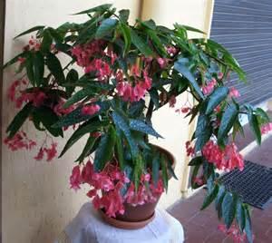 begonia tamaya mes plantes un coin de paradis