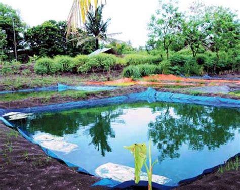 Jual Kolam Terpal Gurame gurame kolam terpal solusi budidaya gurami rumah tangga