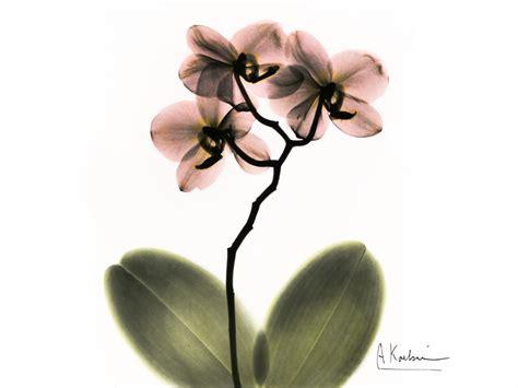 albert koetsier orchid by albert koetsier susan spiritus gallery