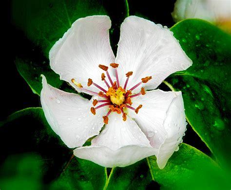 melo in fiore valle brembana flora orobie il melo cotogno in fiore