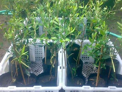 Penjual Bibit Pohon Zaitun harga tanaman zaitun dan cara menanamnya bibit