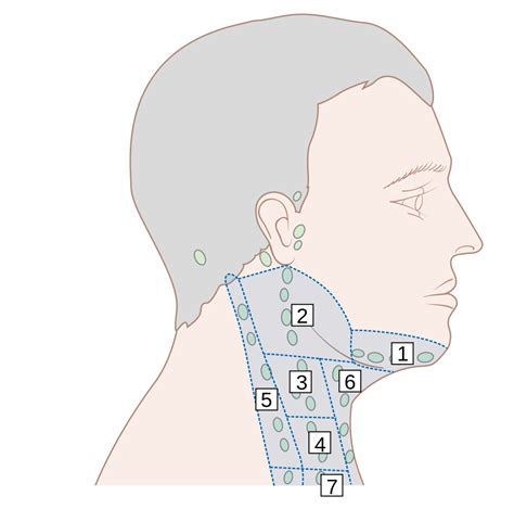 neck lymph node locations diagram neck lymph glands locations diagram neck get free image