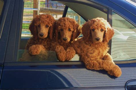 standard poodle puppies apricot standard poodles and poodle puppies for sale family affair standards