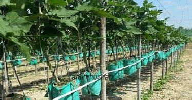 Lu Gantung Panjang anim agro technology fertigasi gantung hasil lumayan
