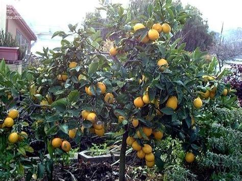 meyer lemon tree meyer lemon tree done