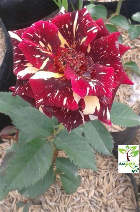 jual tanaman jadi bunga mawar candy merah putih  lapak