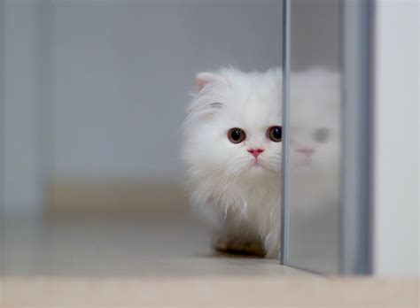 wallpaper cat free download cute white cats hd wallpapers beautiful pictures hd