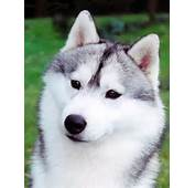 Black Akita Wolf Mix Wolve Gray White