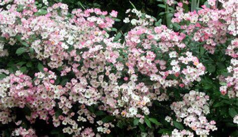 lade di sale rosa children of the corm a charleston garden 10 shade