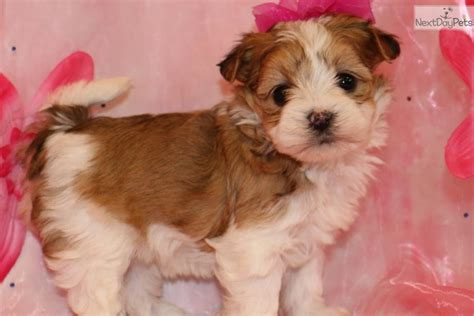 morkie puppies for sale near me morkie yorktese puppy for sale near joplin missouri 6c04924f 5bf1