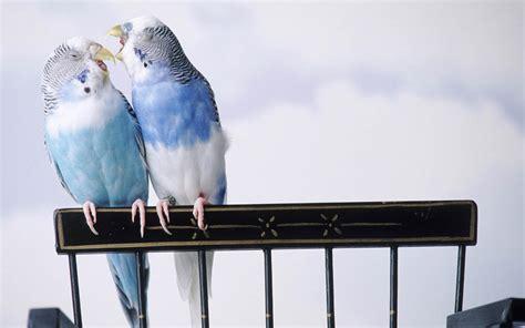 wallpaper angsa cantik gambar burung burung yang berpasangan