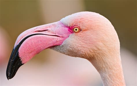 wallpaper with pink flamingos animals zoo park flamingo wallpapers pink birds wallpapers