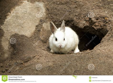 cute white rabbit leaving burrow royalty free stock image
