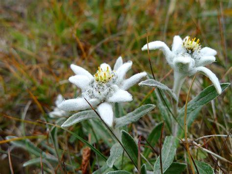 stella alpina leontopodium alpinum