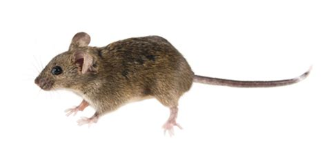 house mouse bites other pests