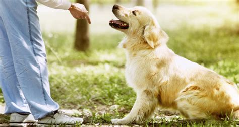 what age to start a puppy what is the right age to start a golden retriever puppy