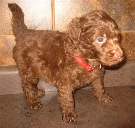 indiana doodle owners australian labradoodles indiana breeds picture