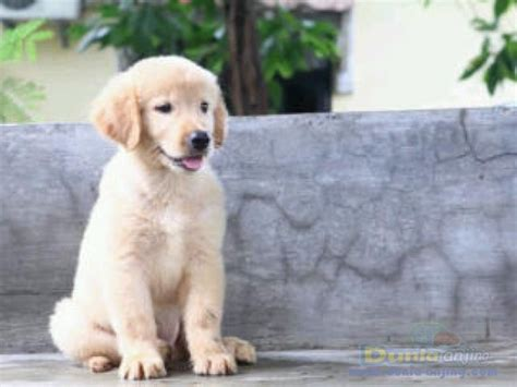golden retriever puppies for sale in wales dunia anjing jual anjing golden retriever for sale