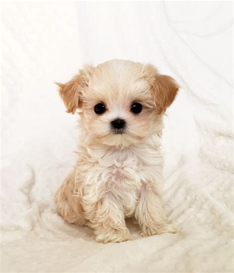 teacup maltipoo puppies teacup maltipoo puppies www pixshark images galleries with a bite