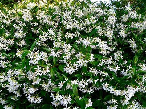 gelsomino fiori secchi gelsomino potatura potatura come e quanto potare il