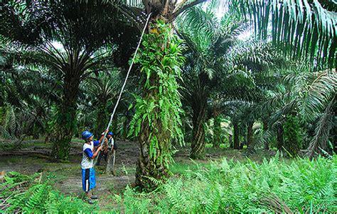 el aceite de palma 'quema' los bosques de indonesia