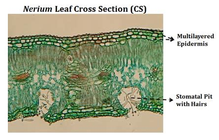 leaf structure cross section ts of dicot leaf under a microscope ppt easybiologyclass