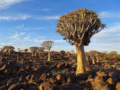 trees images quiver tree forest wikipedia