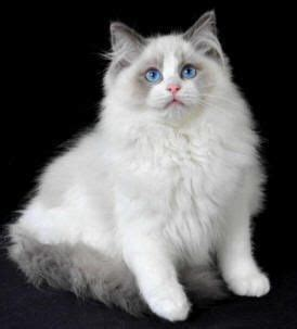 rag doll rocky b 9 best images about rag doll cats on cats