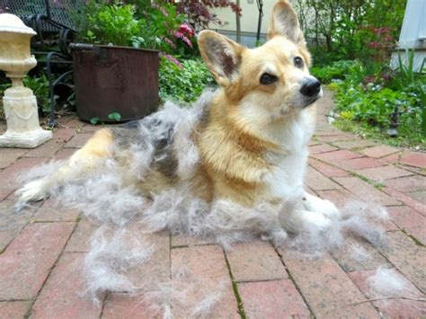 Pembroke Corgi Shedding by Charming Witty And Overall Adorable 12 Interesting