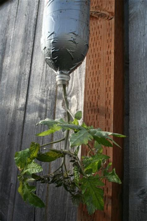 Diy Hanging Tomato Planter by Make Your Own Tomato Planter