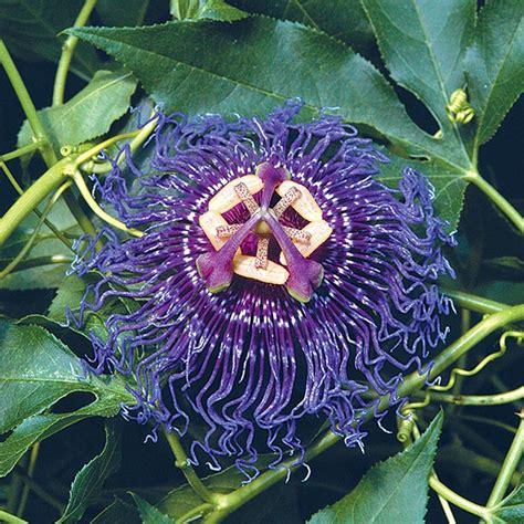 passion flower inspiration passiflora hybrid