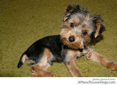 when to get yorkie first haircut 1000 images about yorker poo on pinterest yorkie first