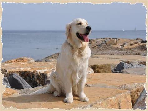 golden retriever database golden retriever allevamento goldenmania cuccioli golden retriever
