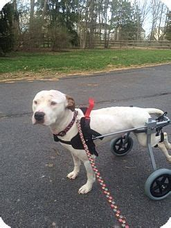 pitbull puppies for adoption ny best 10 pit bull dogs ideas on pictures of pitbull dogs are pit bulls