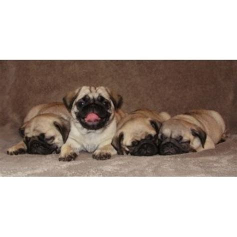 pug rescue wi b g s pugs pug breeder in kewaunee wisconsin