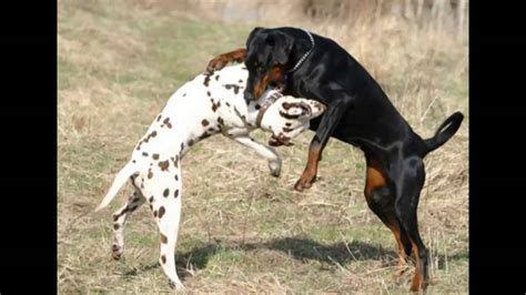 who would win pitbull or rottweiler pitbull vs rottweiler who would win www imgkid the image kid has it