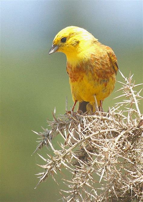yellowhammer birds of a feather pinterest