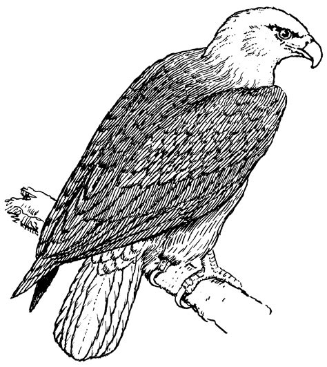 coloring pages of eagle free printable bald eagle coloring pages for kids