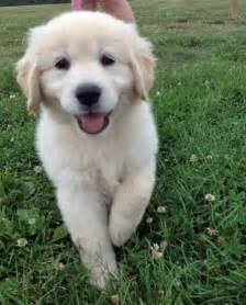 Ella the golden retriever puppies daily puppy