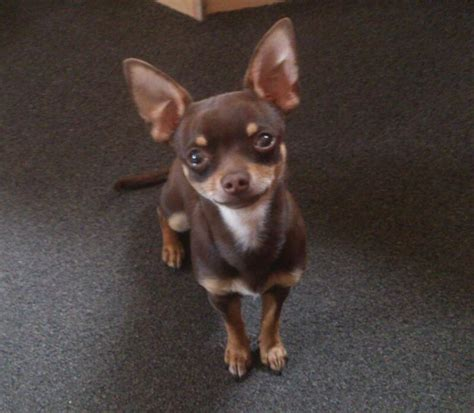 Do Chihuahua Dogs Shed by 100 Best Images About Hair Chihuahua Dogs On