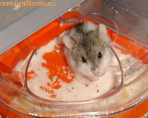 Mouse In Bathtub by Bath Siberian Mouse