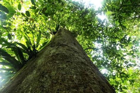 Minyak Buah Ulin Atau Minyak Buah Kayu Besi Bagus Untuk Rambut ulin si kayu besi salah satu pohon terbesar di dunia