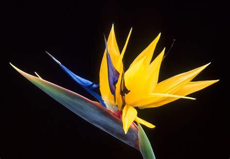 libro the yellow birds strelitzia wikipedia