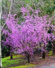prunus blireana common name flowering plum 250mm pot