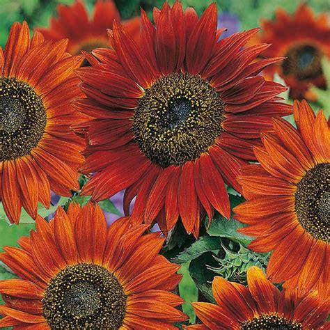 jual bibit bunga matahari merah benih biji sunflower